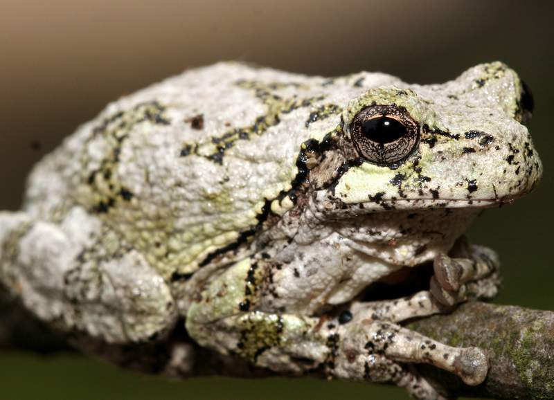 Gray tree frog - photo#9