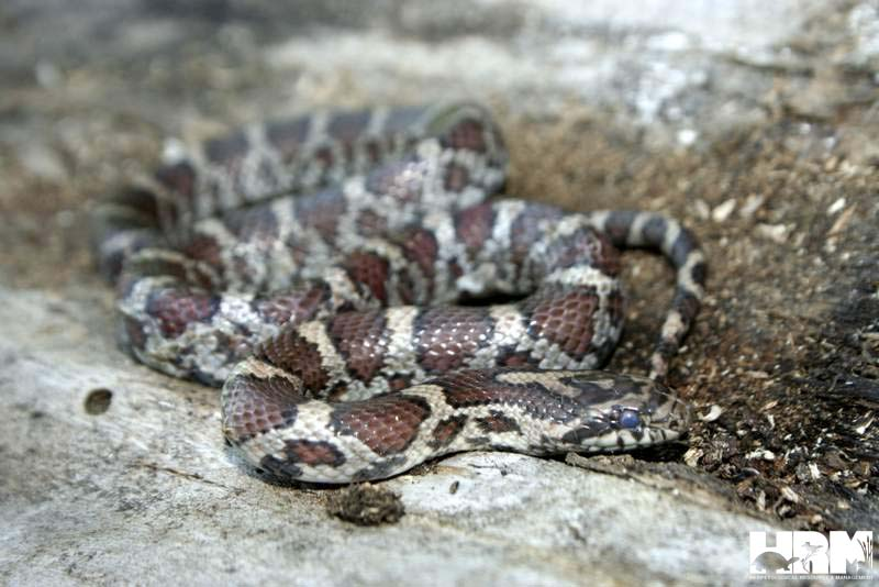 Eastern Milk Snake | Herpetological Resource and ...
